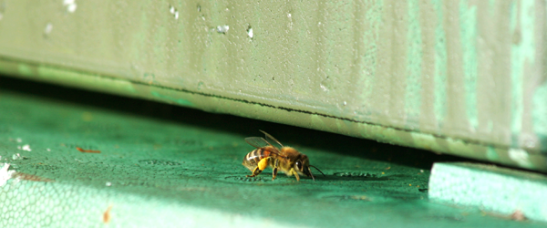 Bi vid ingången till bikupan
